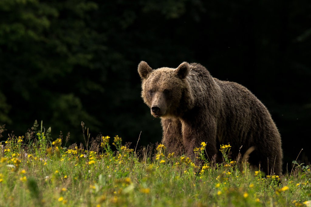 ancient cave bears DNA extinct species